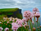 The Flowers of Moher