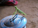 The Praying Mantis